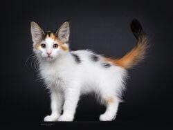 DK Silverleaf's Tortellini • DK Silverleaf • Norsk Skovkatte • Norwegian Forest cats