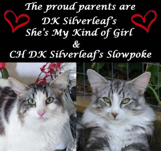 DK Silverleaf's Warcraft Dragons litter • DK Silverleaf • Norsk Skovkatte • Norwegian Forest cats