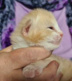 DK Silverleaf's Navajo • DK Silverleaf • Norsk Skovkatte • Norwegian Forest cats