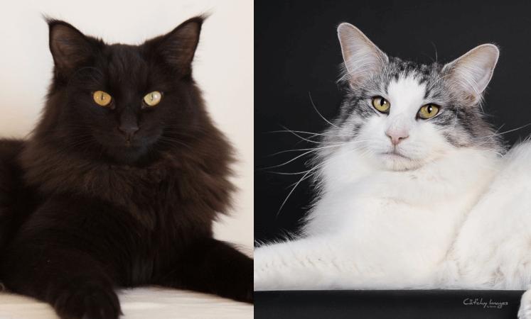 The Madonna litter • DK Silverleaf • Norsk Skovkatte • Norwegian Forest cats