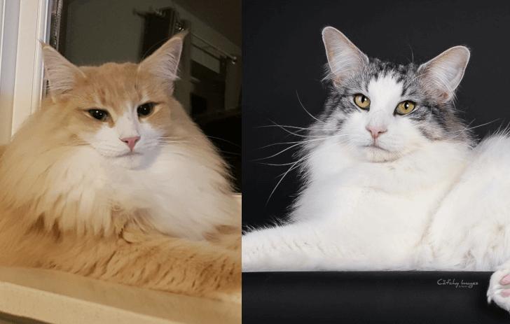 DK Silverleaf's Indian Tribes kuld • DK Silverleaf • Norsk Skovkatte • Norwegian Forest cats