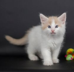 DK Silverleaf's Shoshone • DK Silverleaf • Norsk Skovkatte • Norwegian Forest cats