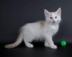 DK Silverleaf's Kickapoo • DK Silverleaf • Norsk Skovkatte • Norwegian Forest cats