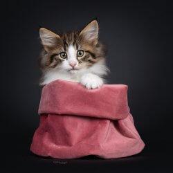 DK Silverleaf's Panna Cotta • DK Silverleaf • Norsk Skovkatte • Norwegian Forest cats