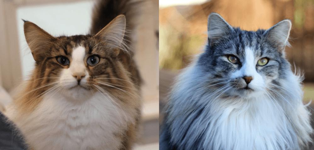 Precious Gemstones Litter • DK Silverleaf • Norsk Skovkatte • Norwegian Forest cats