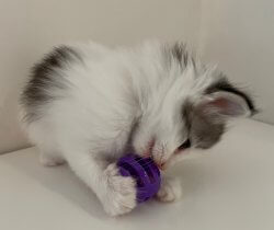 DK Silverleaf's Tango • DK Silverleaf • Norsk Skovkatte • Norwegian Forest cats