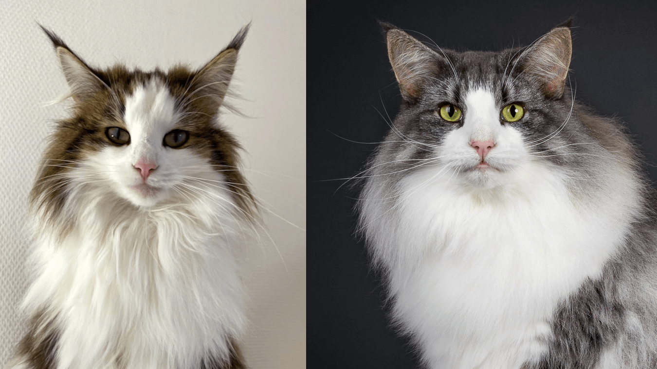 The Dance litter • DK Silverleaf • Norsk Skovkatte • Norwegian Forest cats