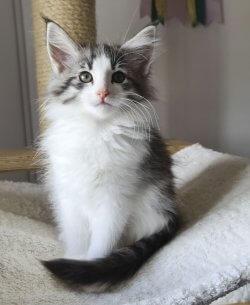 DK Silverleaf's Scotch Bonnet • DK Silverleaf • Norsk Skovkatte • Norwegian Forest cats